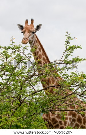 Giraffe (Giraffa camelopardalis) towering over top of thorny tree in Hluhluwe-iMfolozi Reserve in KwaZulu Natal region of South Africa. - stock photo