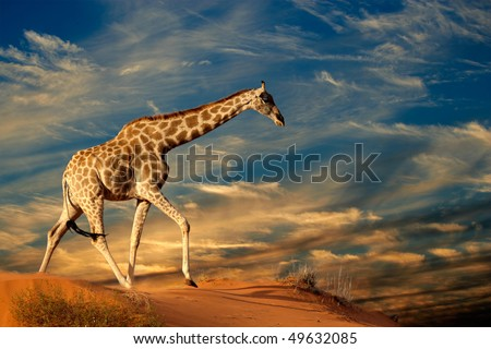 Giraffe (Giraffa camelopardalis) walking on a sand dune with clouds, South Africa - stock photo