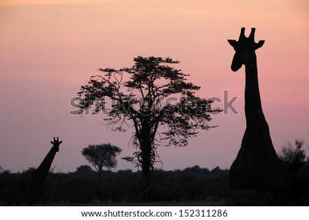 Giraffe (Giraffa camelopardlis) at dusk in the Savuti area of Botswana