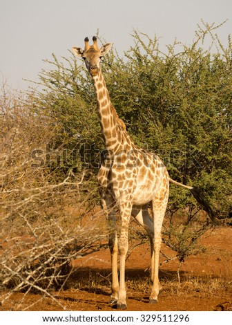 Giraffe grazing in southern Kruger National Park, South Africa - stock photo