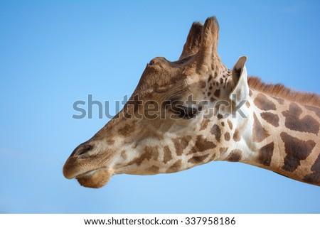 Giraffe head against blue sky - stock photo