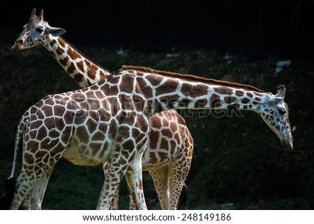 giraffe, head and neck close-up - stock photo