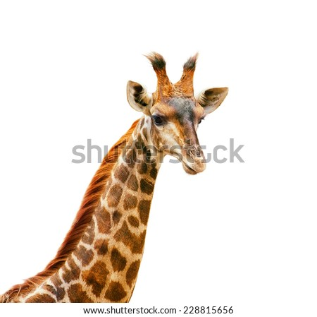 Giraffe head and neck isolated on white. Elegant and beautiful portrait of African animal - stock photo