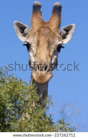 Giraffe head close up with a blue sky - stock photo