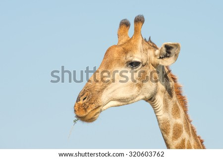 Giraffe head closeup - stock photo