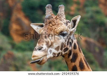 Giraffe head. Giraffa camelopardalis. - stock photo