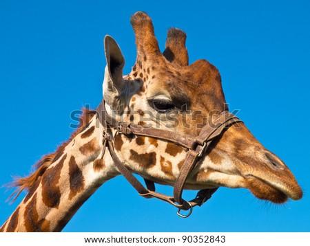 Giraffe head looking right - stock photo