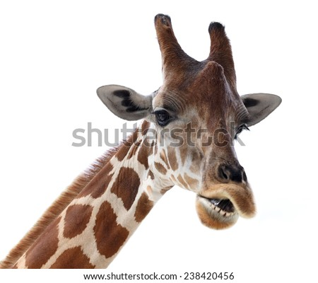 Giraffe head with funny face isolated on white background - stock photo