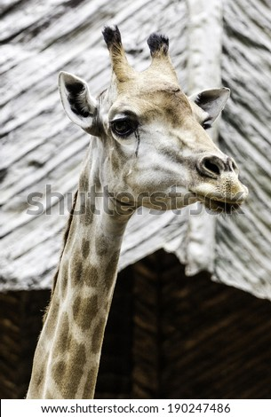 Giraffe head with neck in the zoo - stock photo