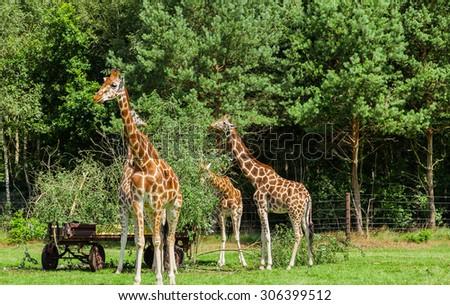 Giraffe herd during feeding - stock photo