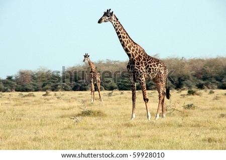 Giraffe in a national park - stock photo