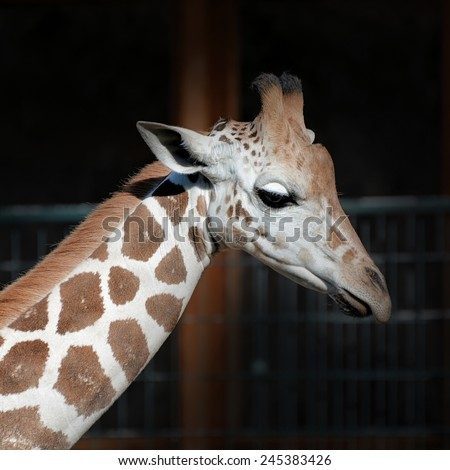 Giraffe in a Zoo - stock photo