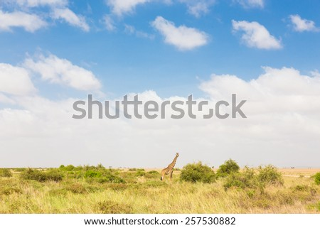 Giraffe in african wilderness. Giraffa camelopardalis is African even-toed ungulate mammal, tallest living terrestrial animal and the largest ruminant. - stock photo