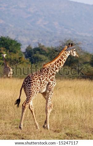 Giraffe in Akagera NP, Rwanda - stock photo