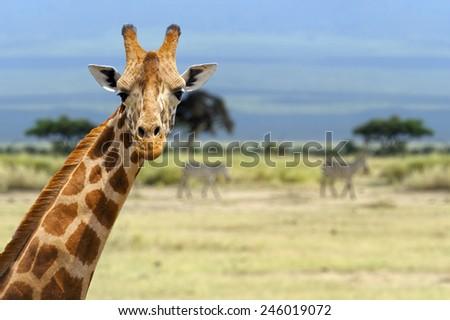 Giraffe in front Amboseli national park Kenya - stock photo