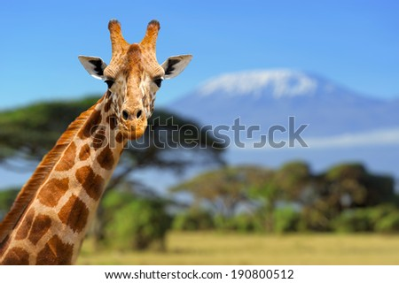 Giraffe in front of Kilimanjaro mountain - Amboseli national park Kenya - stock photo
