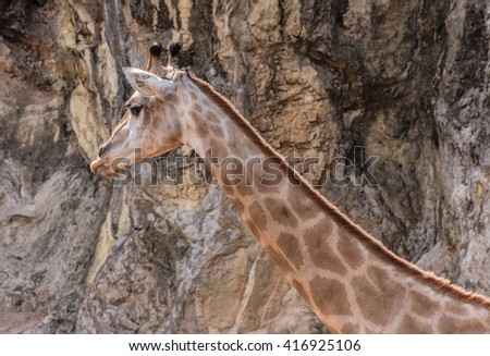 Giraffe in front rocky mountain,soft focus - stock photo
