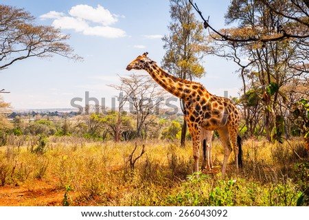 Giraffe in Kenya - stock photo