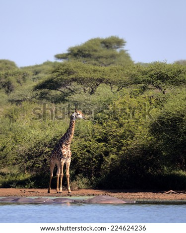 Giraffe in Kruger National Park - stock photo