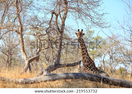 Giraffe in Moremi National Park Botswana - stock photo