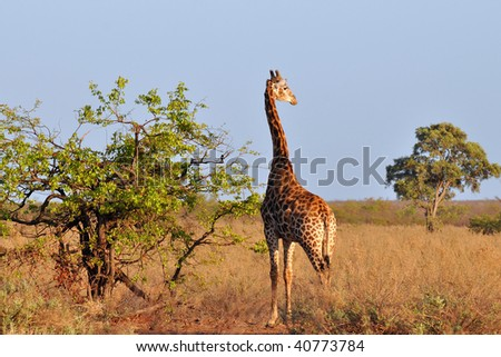 giraffe in morning sunshine - stock photo