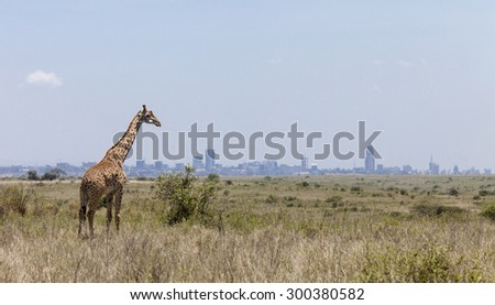 Giraffe in Nairobi National Park with Nairobi skyline in background - stock photo