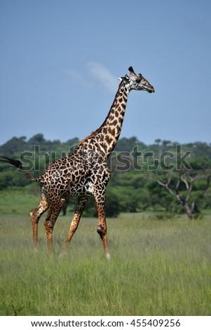giraffe in natural habitat in African natural park - stock photo