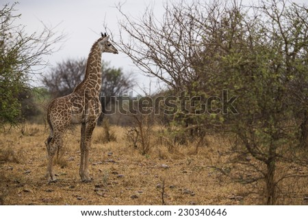 Giraffe in the bushes. South Africa. - stock photo