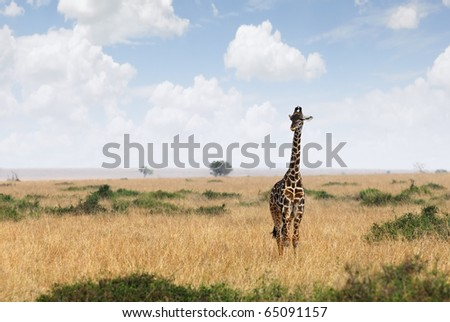 Giraffe in the Masai Mara national park, Kenya - stock photo