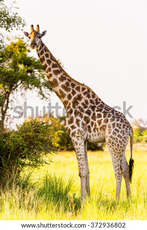Giraffe in the Moremi Game Reserve (Okavango River Delta), National Park, Botswana