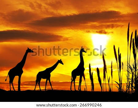 giraffe in the mountain - stock photo