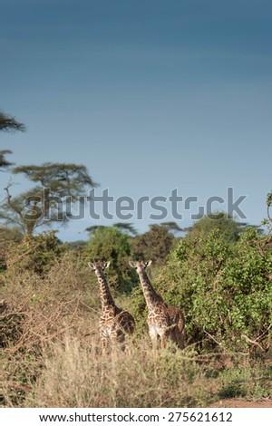 giraffe in the savanna of Africa - stock photo
