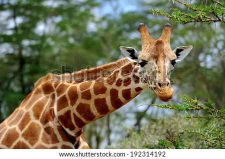 Giraffe in the wild. Africa, Kenya - stock photo