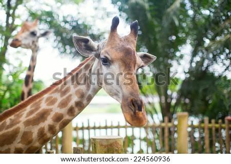 Giraffe in the zoo safari park - stock photo