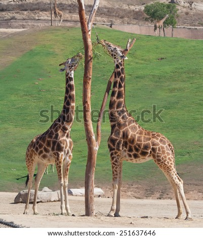 Giraffe in zoo feeding on grass and hay - stock photo