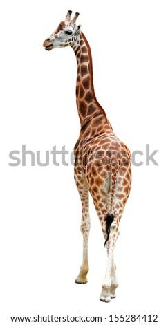 giraffe isolated  - stock photo