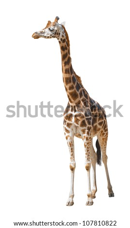 Giraffe isolated. Against a white background