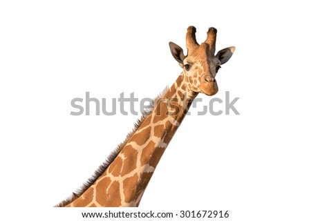 Giraffe isolated on white.