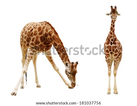 Giraffe isolated on white background.  - stock photo