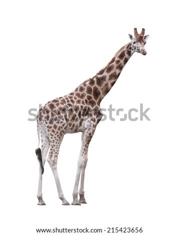 Giraffe isolated on white background - stock photo