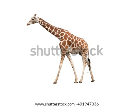 Giraffe, isolated on white background - stock photo