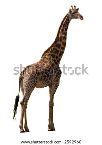 Giraffe (kruger park south africa) isolated on white - stock photo