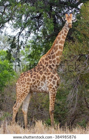 giraffe looking at me at kruger national park south africa