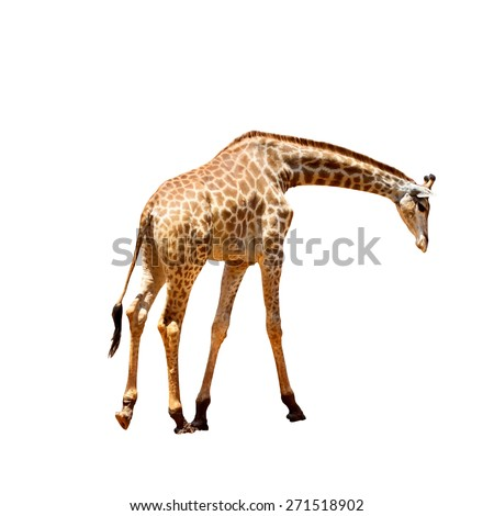 giraffe  looking down on white background - stock photo