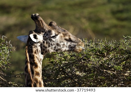 Giraffe male with large helmet eating from an acacia