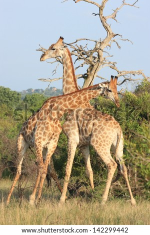 giraffe mammal wildlife African continent kruger national park south africa wild eco-tourism and solidarity