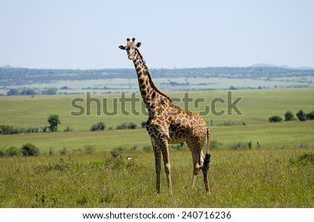 Giraffe - Masai Mara - Kenya - stock photo