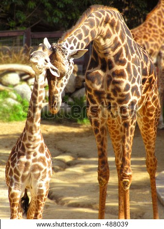 Giraffe Mother and Child - stock photo