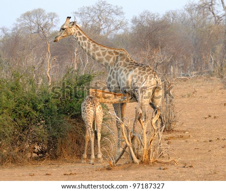 Giraffe mother nursing calf at Chobe game reserve in Botswana - stock photo