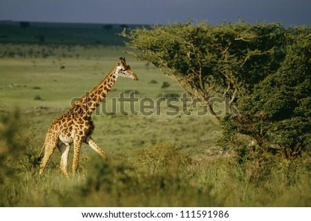 Giraffe, Nairobi National Park, Kenya - stock photo